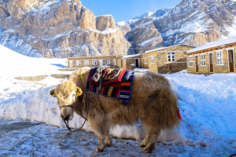 A yak at High Camp - Annapurna Circuit