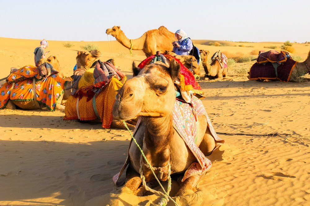 Camels in the desert in India