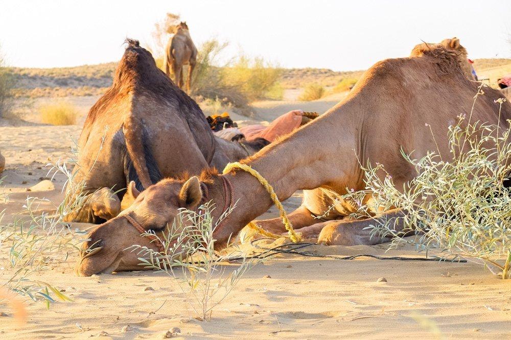 Camels resting