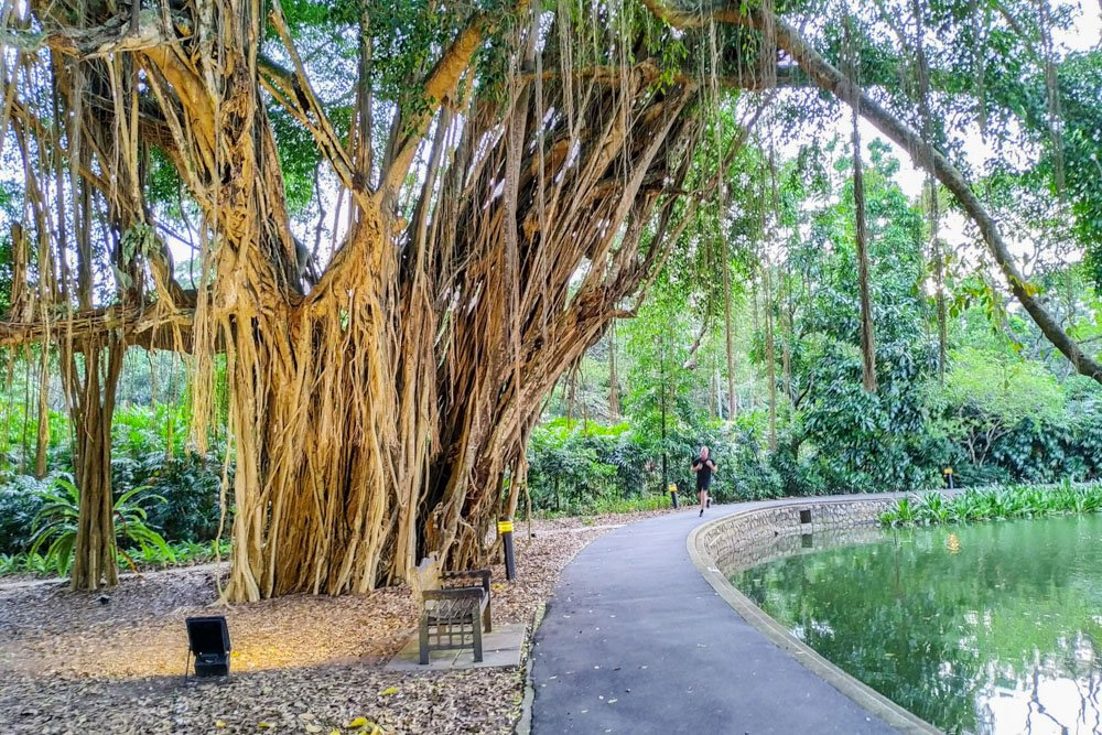Banyan tree in Singapore