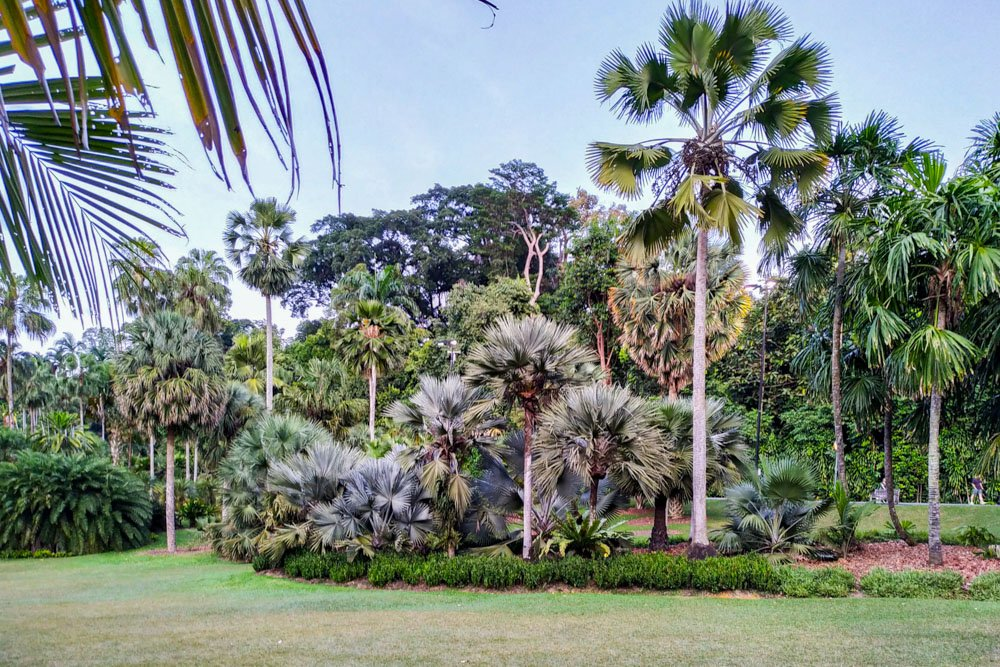 Palm trees in Singapore