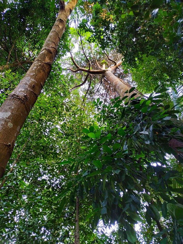 Trees - Rainforest - Singapore