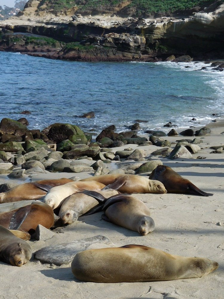 Seals on the beach in La Jolla