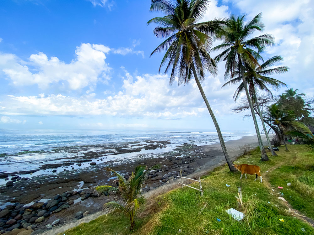 Cow, palm trees and trash on the beach in Bali