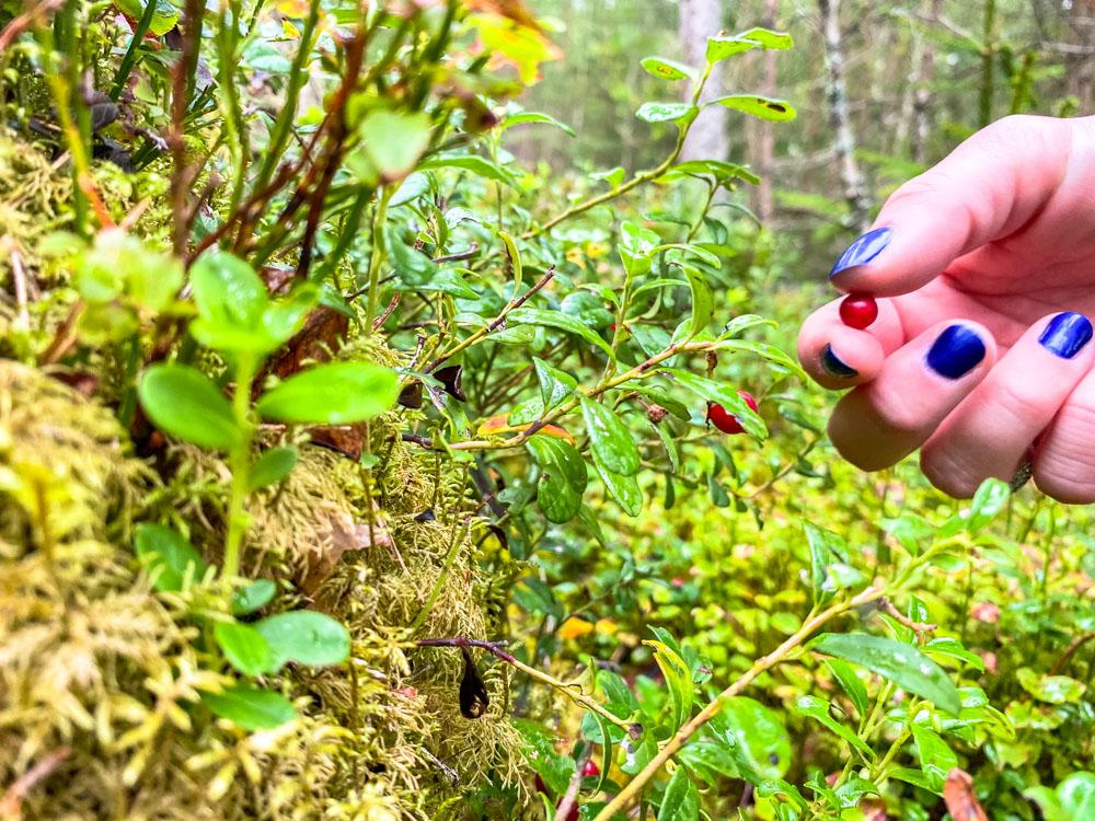 Picking wild berries in Latvia