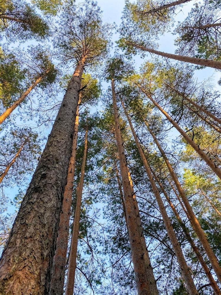 Pine trees in Ogre