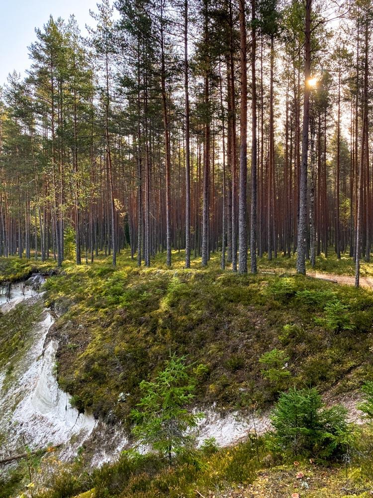 Beautiful pine tree forest near Valmiera