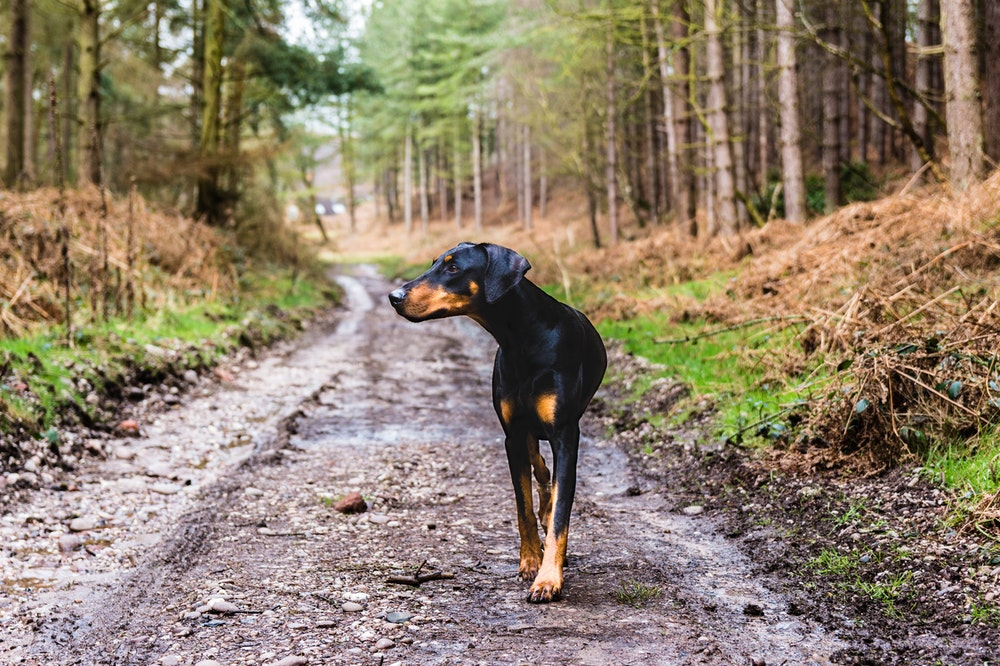 Black dog walking in the forest