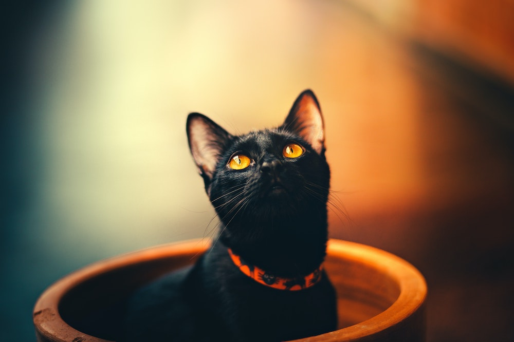 Black cat with a collar
