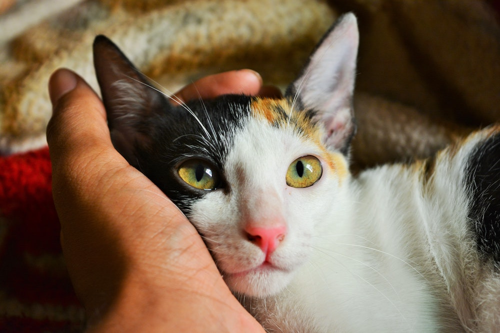 Person petting a cat