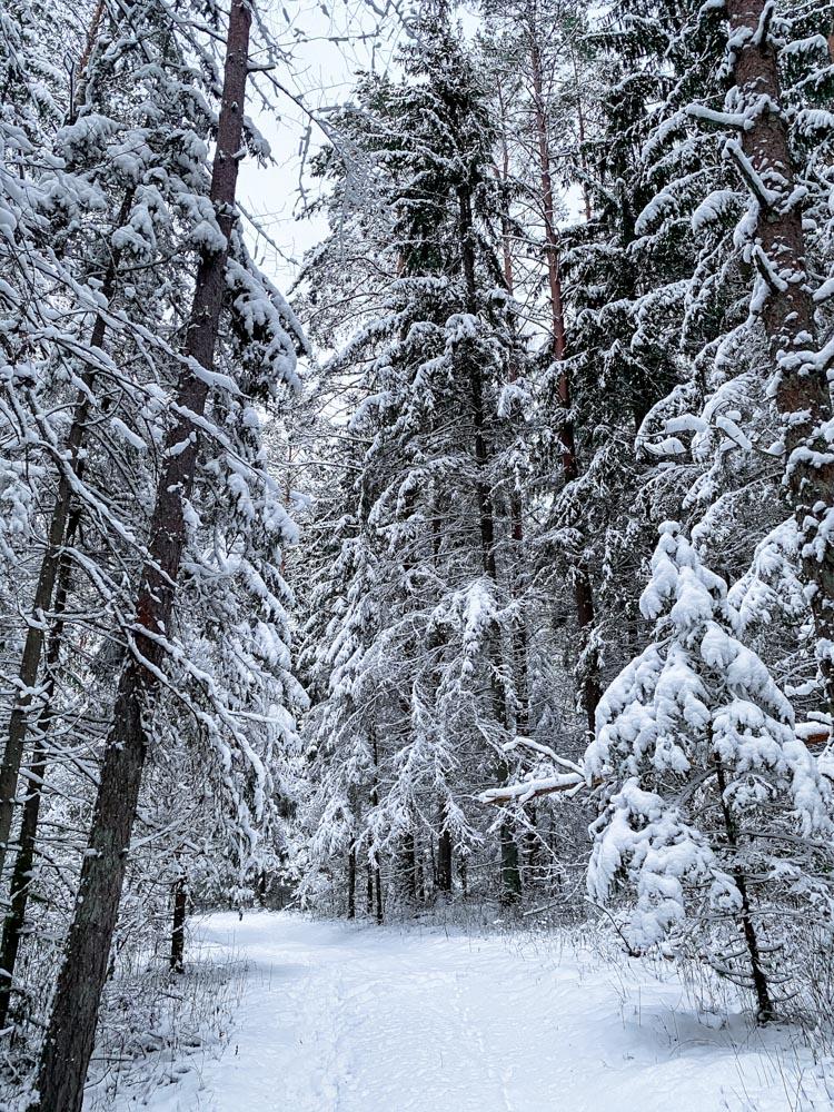 Snowy forest near Sigulda