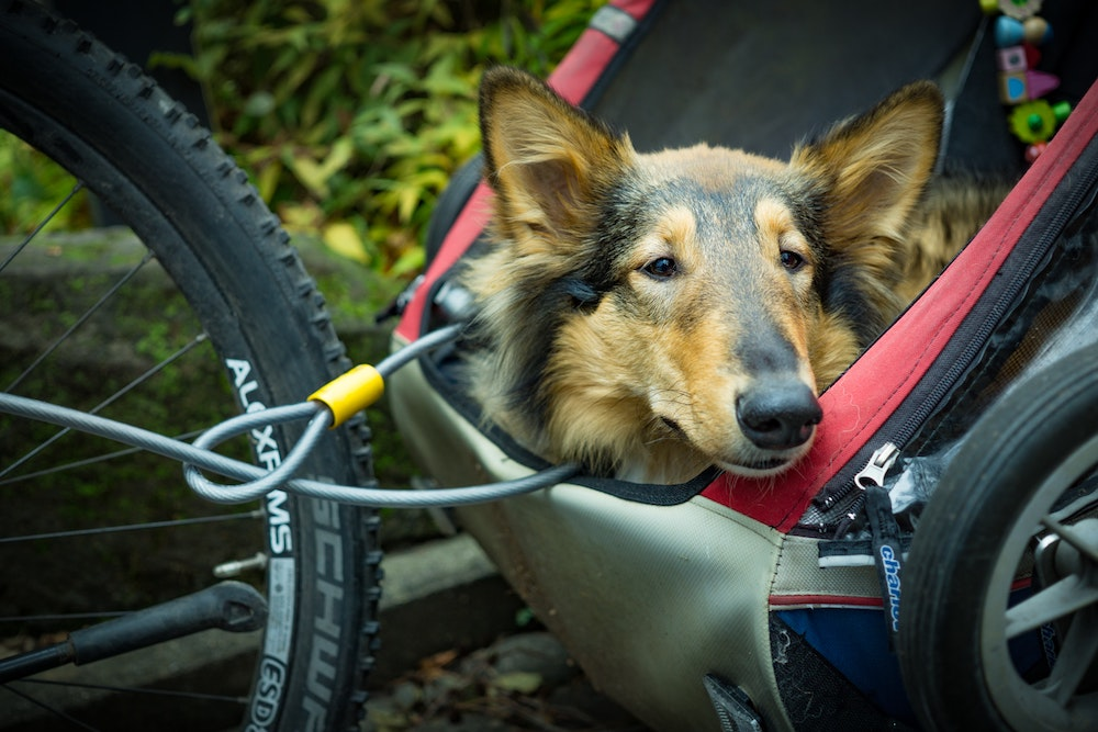 A dog in a bike basket
