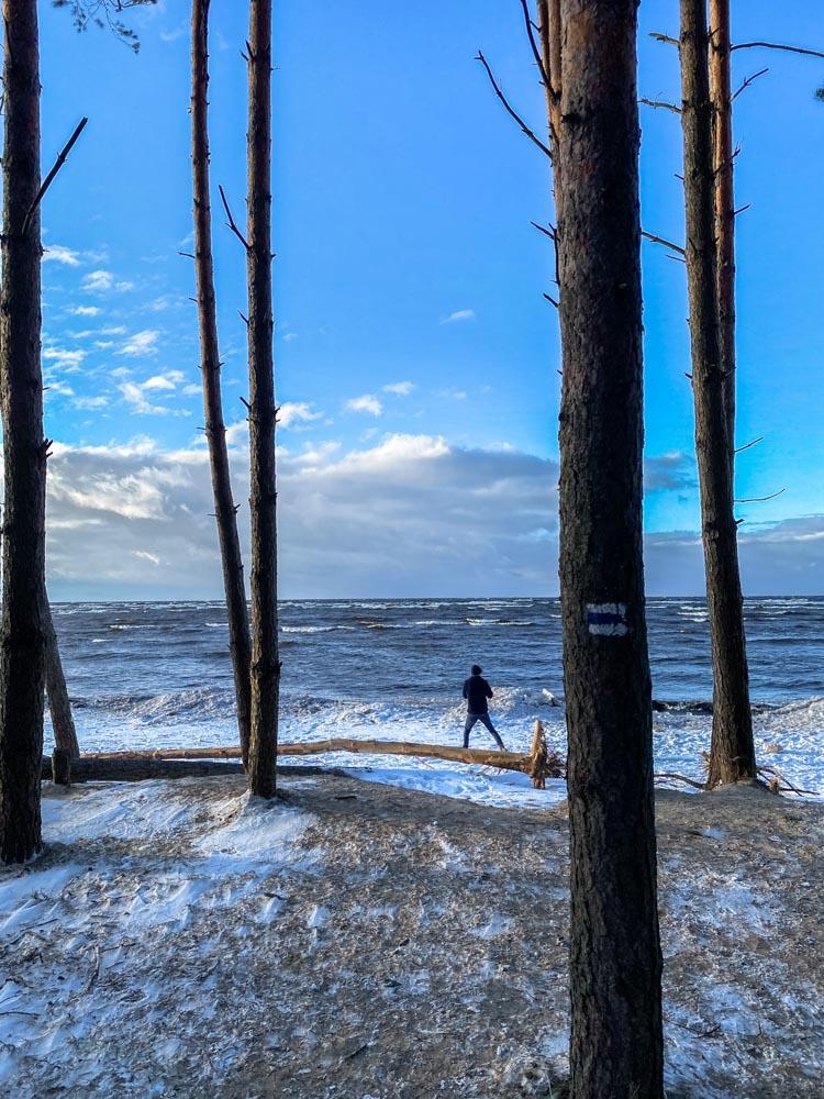 Pine trees near the beach