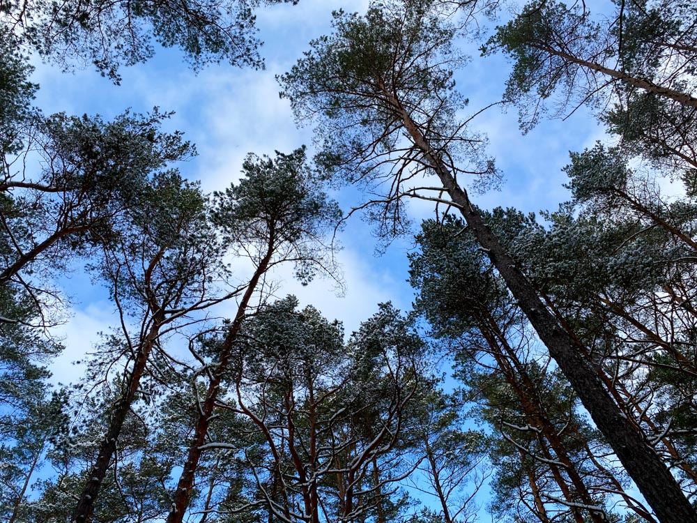 Tall pine trees in Latvia