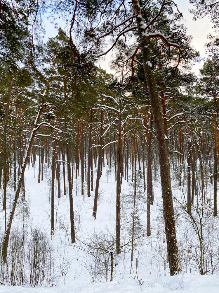 Tall pine trees in the forest in Latvia
