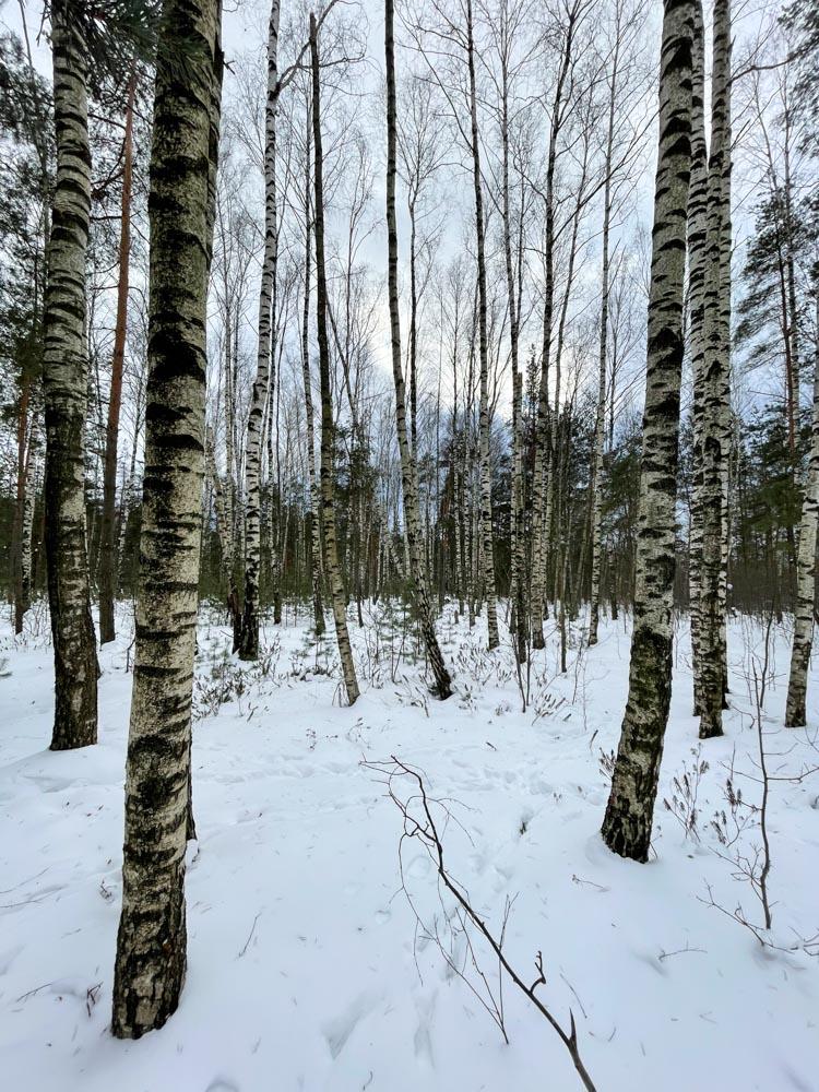 Snowy forest in Riga