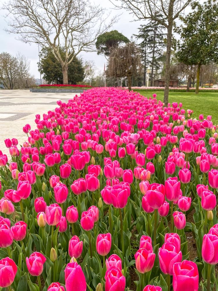 Beautiful tulips in Emirgan Park, Instabul