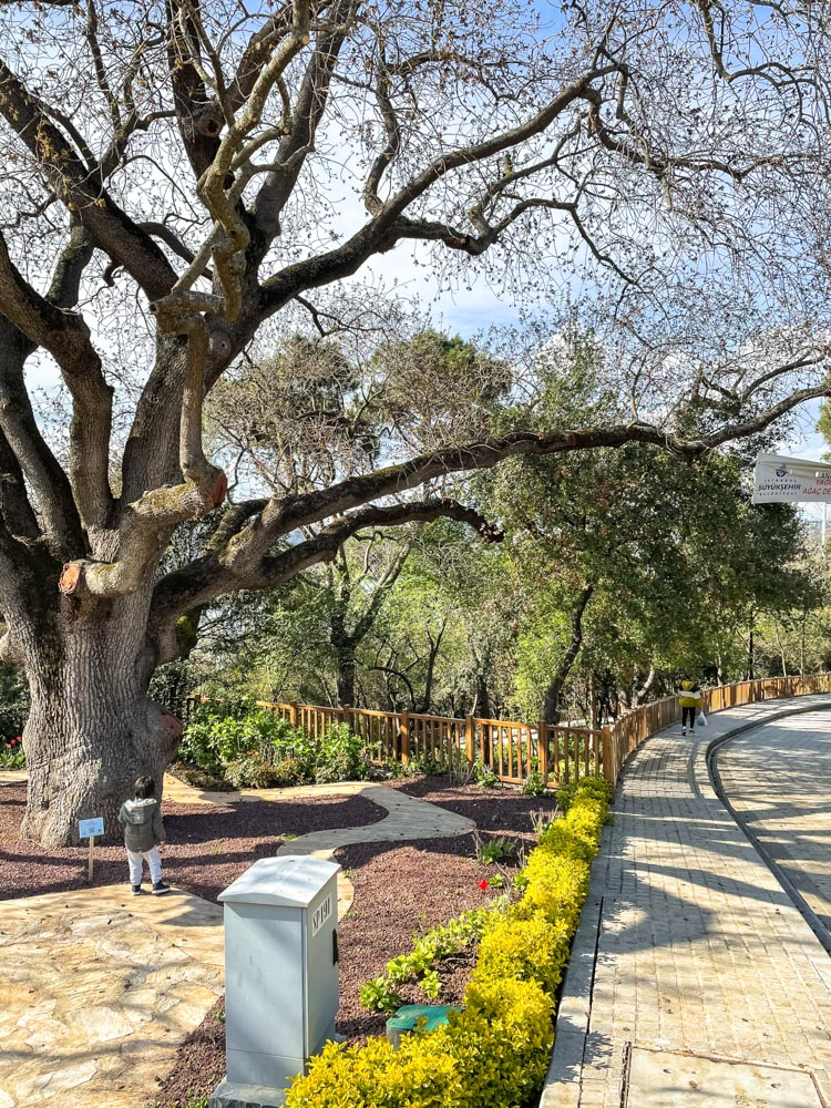 Huge tree in Fethipasa Sosyal Tesisleri park