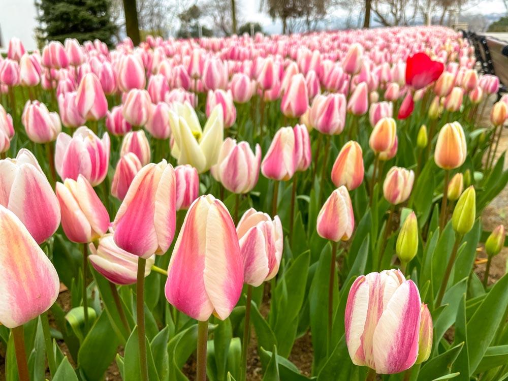 Pink tulips in Emirgan Park