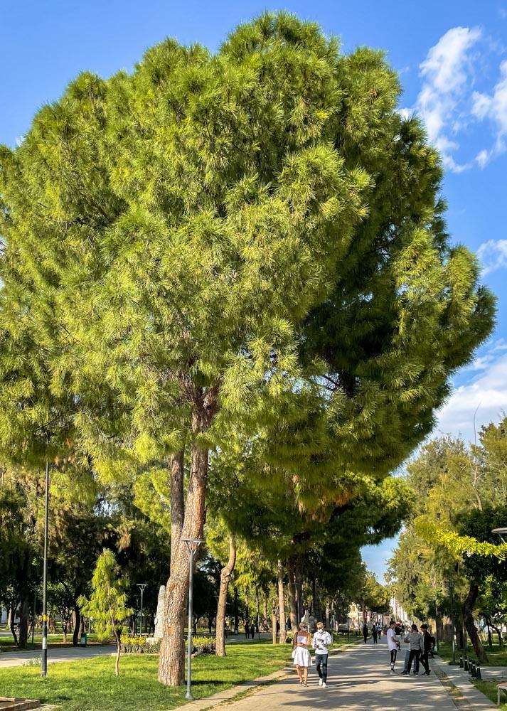 Trees in Karaalioglu Park, Antalya